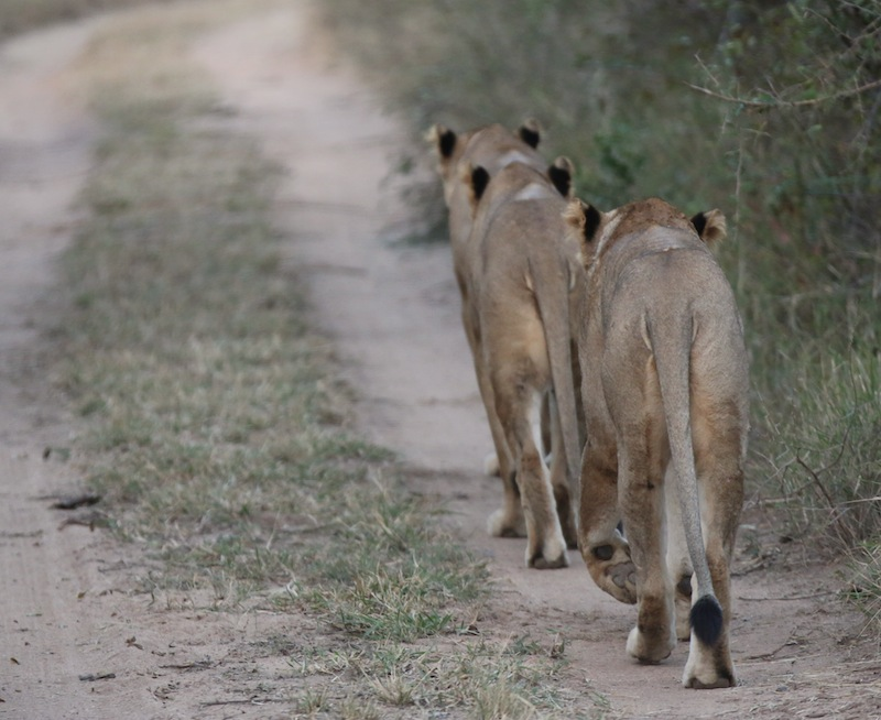 Lionesses walking single file