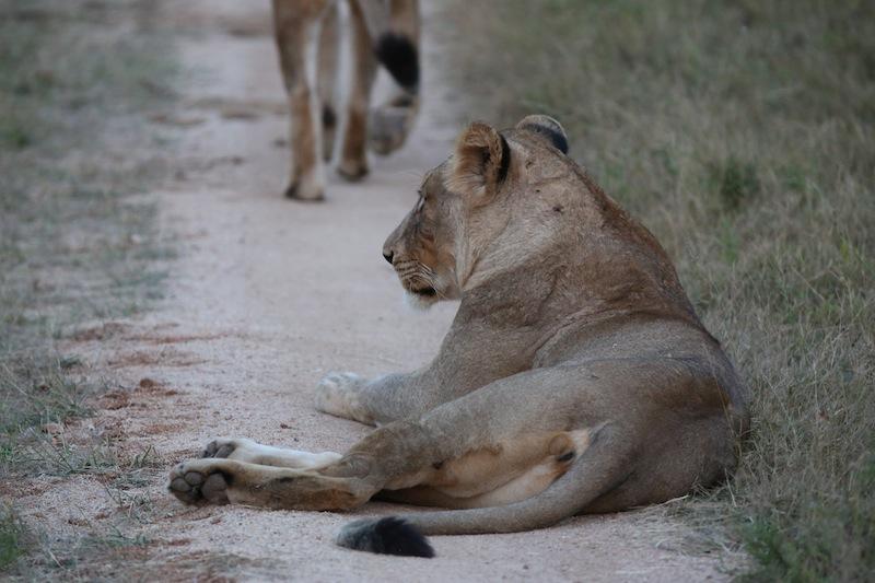 Lionesses in Kruger National Park