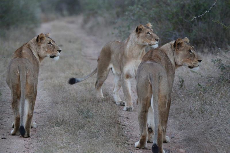 Lionesses hunting giraffe