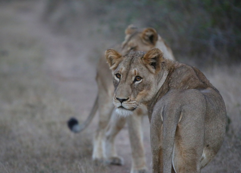 Lionesses hunting