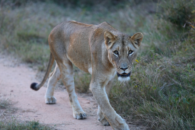 hungry lioness at Kruger National Park